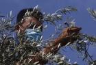 """مستوطنون يسرقون """"ثمار زيتون ومعدات زراعية"""" جنوب نابلس"""