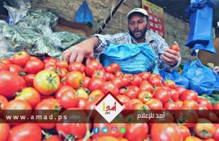زراعة حماس تصدر (420) طناً من البندورة خلال أسبوعين