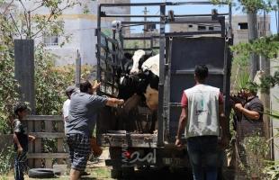 """غزة: العمل الزراعي يطور من """"مربيات الأبقار الحلوب"""" بتوزيع سلالات جديدة"""
